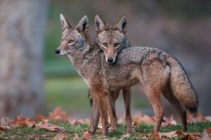 Coyotes are smaller than its close relative, the gray wolf.